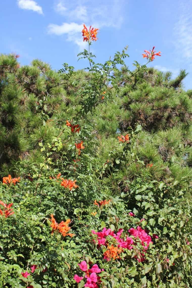 Pink and orange flowering bush