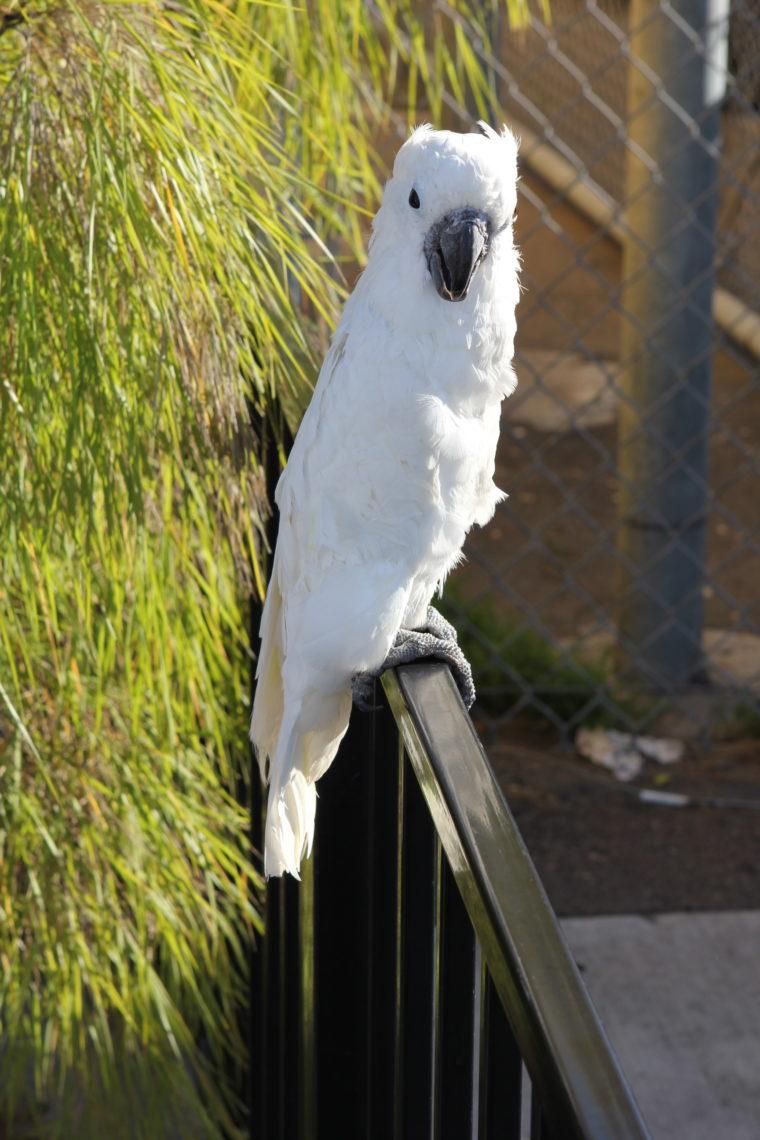 Large white bird on black fence