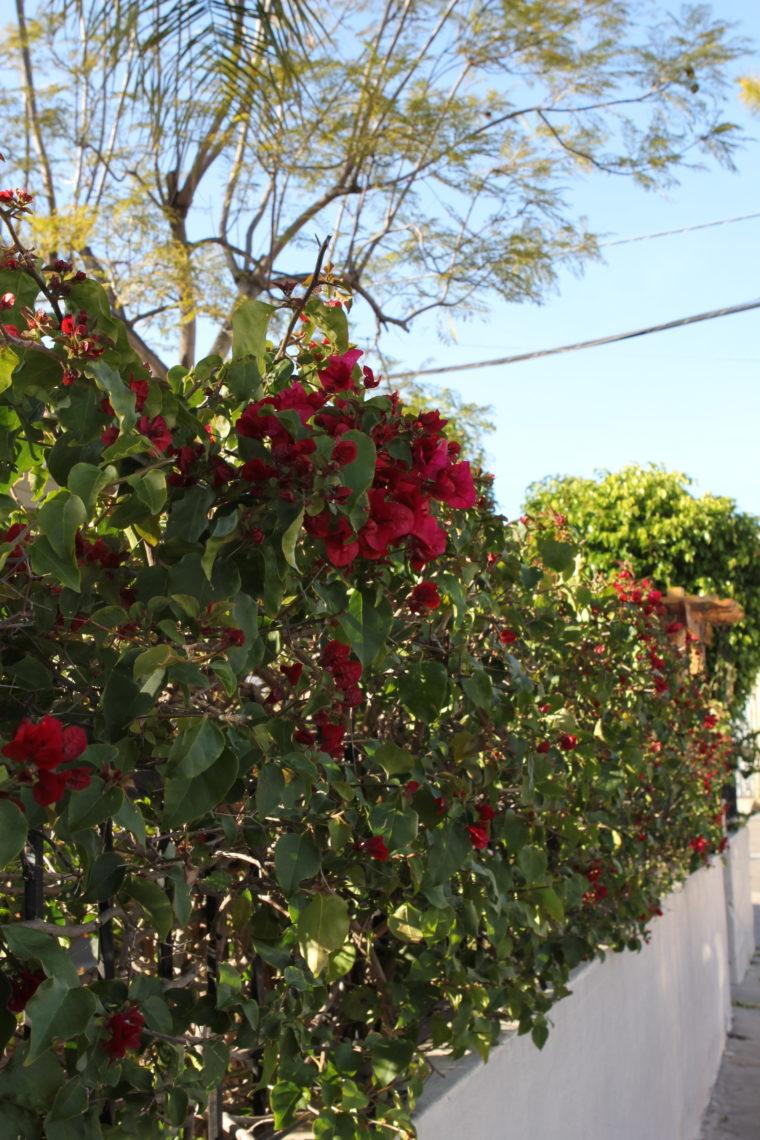 Flowering shrubs hanging over fence