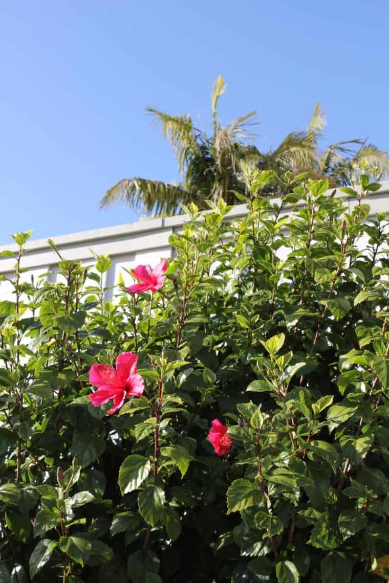 Flowering tree with pink flowers