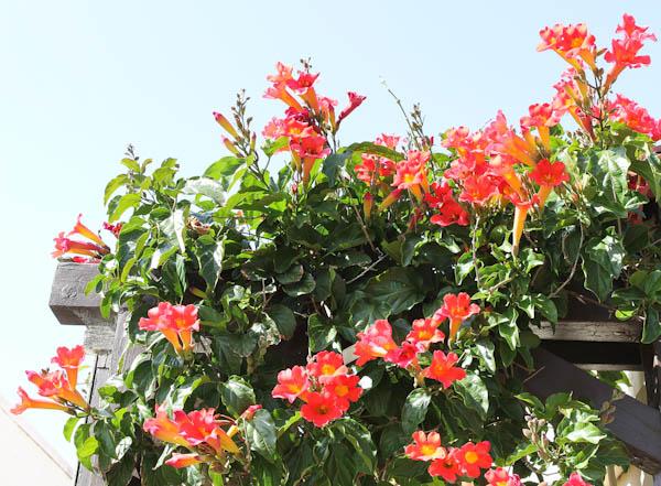 Red and Yellow flowering shrub