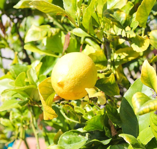 lemon tree averiecooks.com