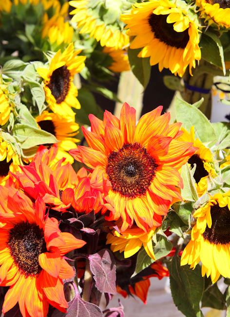 Various sunflowers