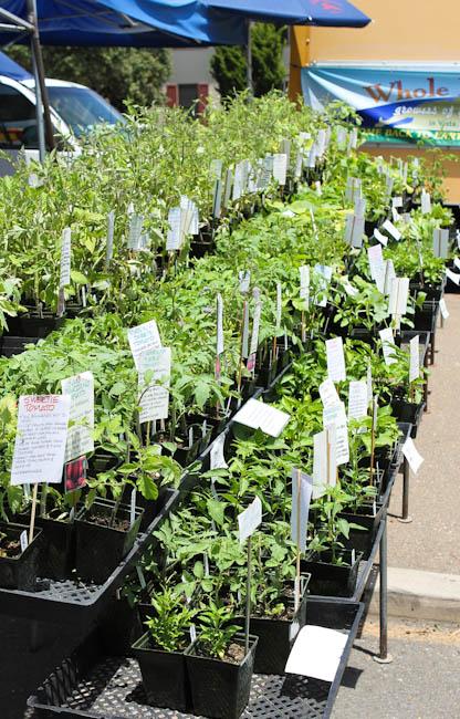 Dozens and dozens of varieties of tomato plants.