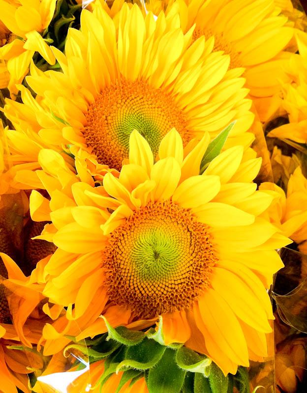 sunflowers-12