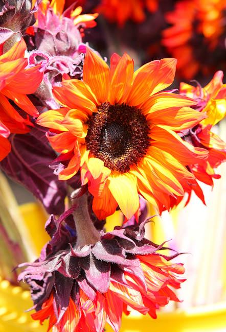 sunflowers and purple flowers