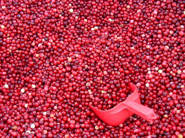 Red scoop in sea of cranberries