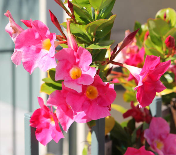 Pink flowers with yellow insides