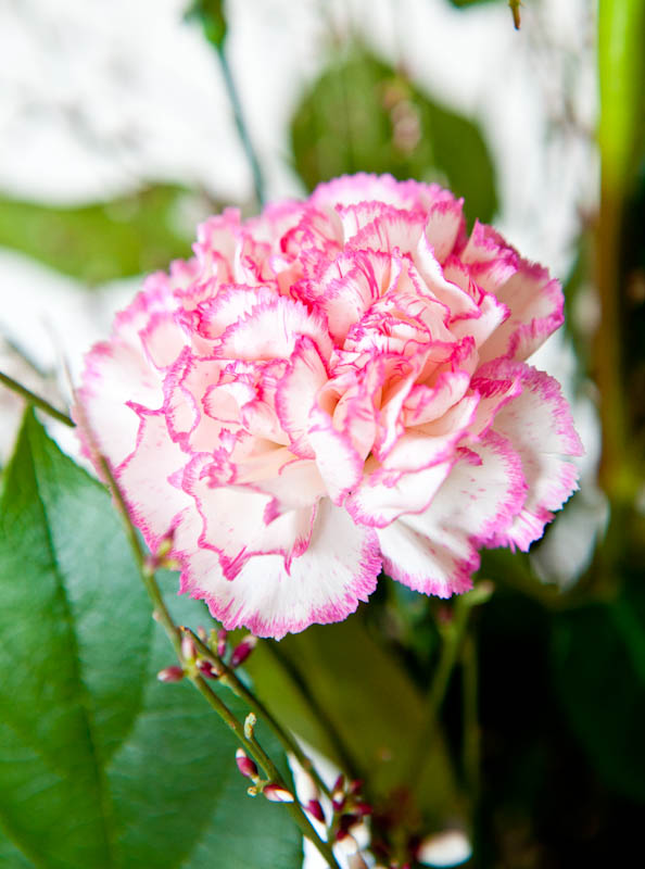 Pink and white carnation