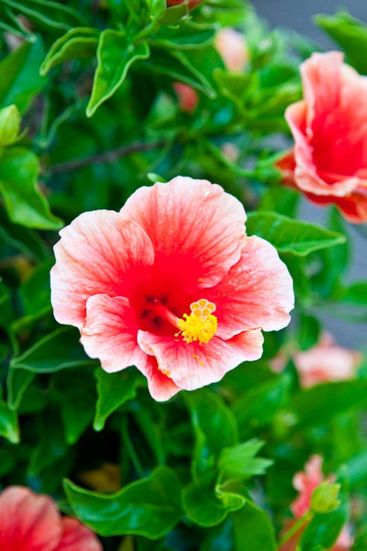 Red-pink flowers
